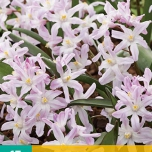 Chionodoxa forbesii Pink Giant - Glory-of-the-snow