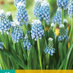 Muscari Touch of Snow - Grape Hyacinth