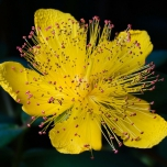 Hypericum Calycinum – Rose of Sharon