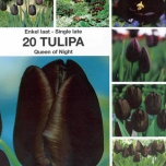 Tulip Queen of Night - Tulip Single Late Black
