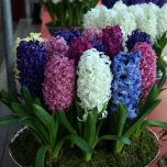 Hyacinth Fantasy Mix