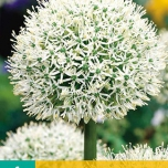 Allium Mont Blanc - Giant Onion