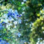 Leadwort - Plumbago (Three-pack)