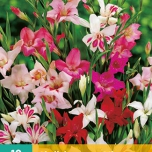 Gladiolus Mini Mix