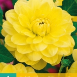 Dahlia Decorative Yellow
