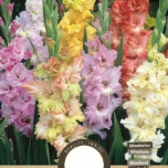 Gladiolus Fringed Mixed