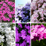 Phlox Subulata Mix - Creeping Phlox (Six-pack)