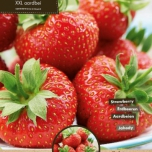 Strawberry Maxim (garden ready)