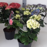 Hydrangea Macrophylla Black Steel White Tuincentrum Koeman