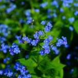 Great forget-me-not (Brunnera macrophylla)