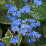 Great forget-me-not Jack Frost - Brunnera (Six-pack)