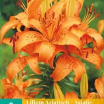 Lilium Asiaticus Orange - Asiatic Lilies