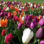 Tulips Fantasy Mix XL-Pack