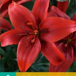 Lilium Red County