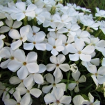 Phlox subulata White Delight - Creeping Phlox (Three-pack)