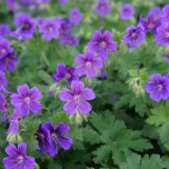 Geranium All Summer Pleasure - Cranesbill