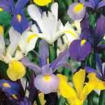 Iris bulbs Hollandica Mix